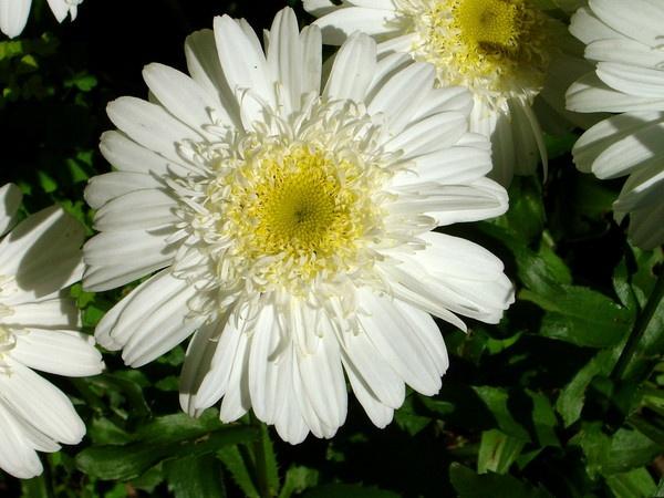 Daisy by Paul_H