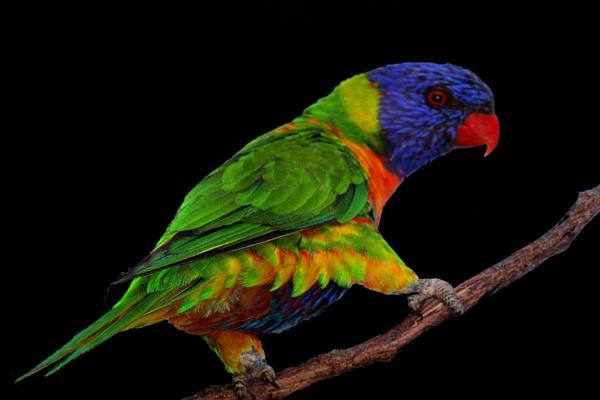 "\""Rainbow Lorikeet\"" by suefel48"