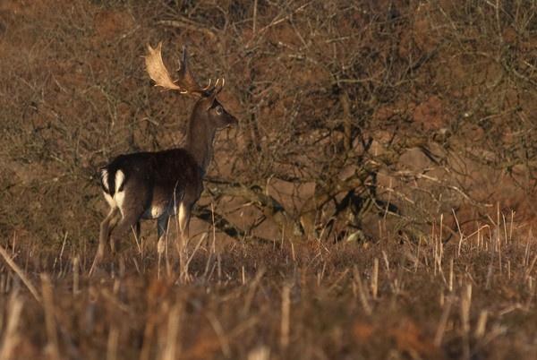 fallow deer stag by kieranmccay