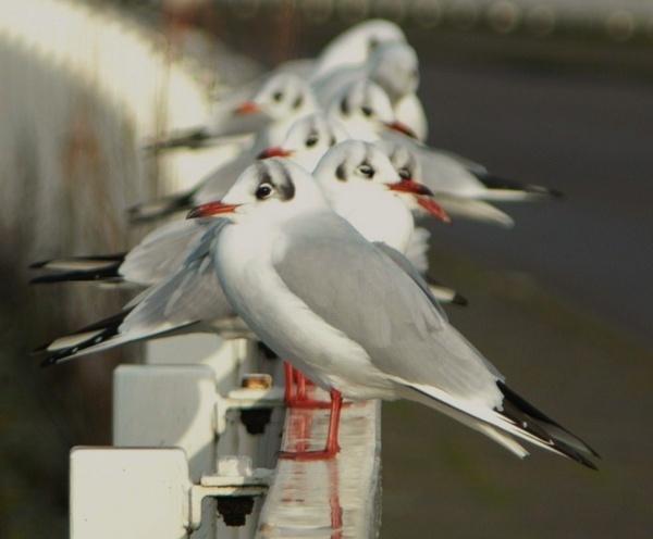 Black headed Gulls by Jacky4me