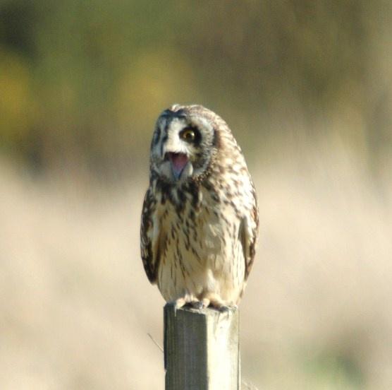 Wild Short Eared Owl by Jacky4me