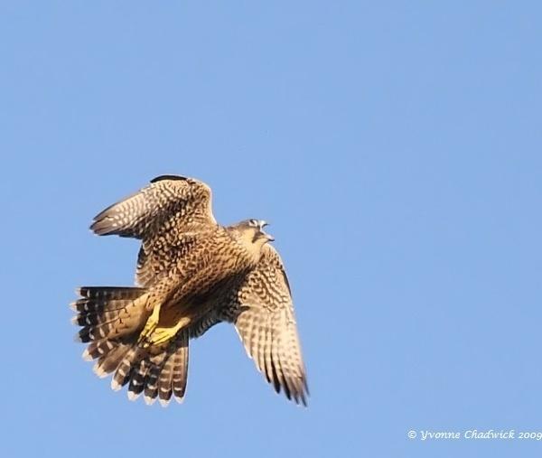 Peregrine Falcon by Karna