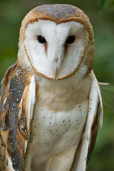Barn Owl by jlwilliams1979