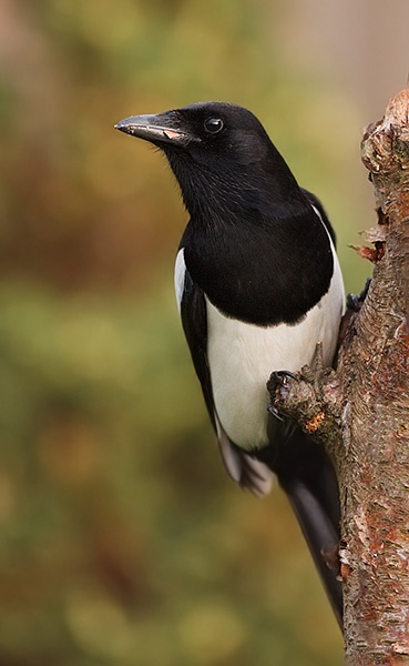 Magpie by JonMA
