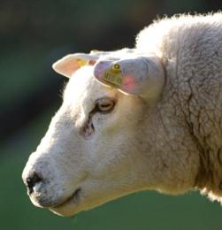 Ewe looking at me !