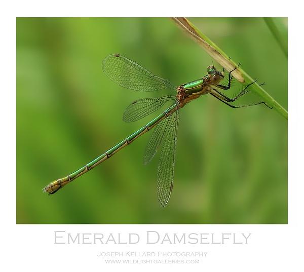 Emerald Damselfly by WildLight