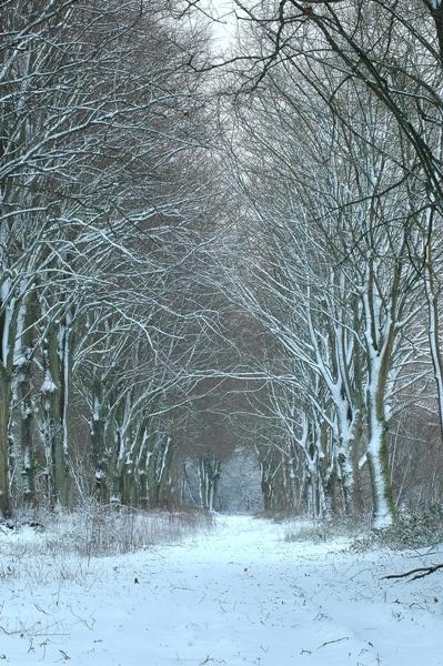 Snowy tree avenue 2 by Beckyphotos