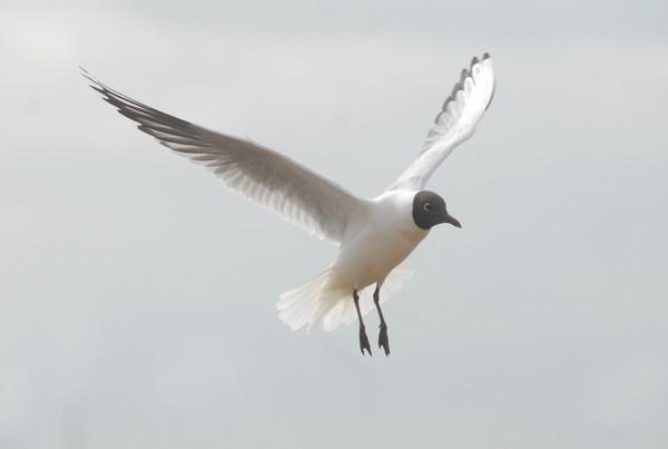 another black headed gull by kieranmccay