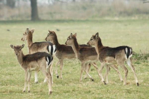 Wild Fallow Deer by Jacky4me