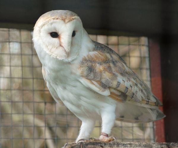 Captive Barn Owl by Jacky4me