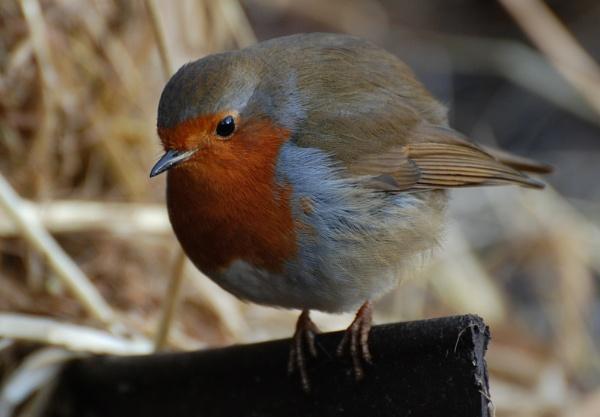Fat Robin by AlistairJ