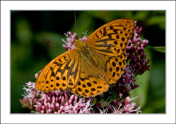 Silver-washed Fritillary by casson