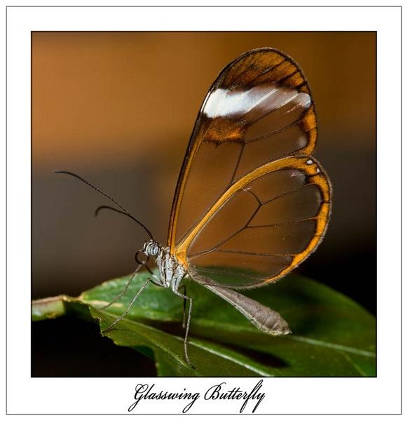Glasswing Butterfly by Martin_R