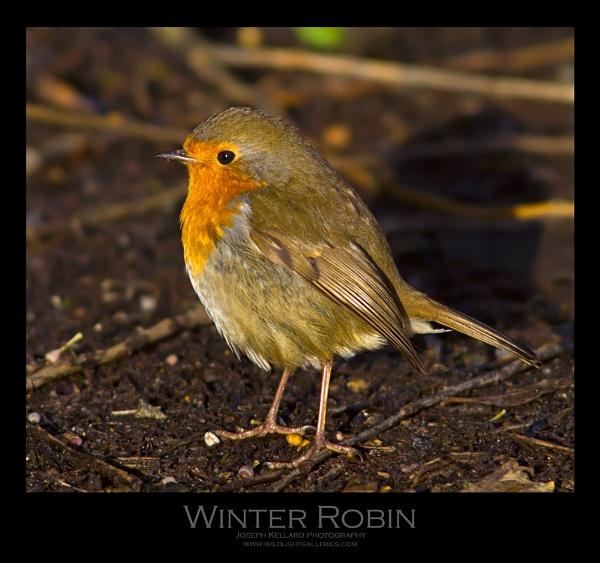Winter Robin by WildLight