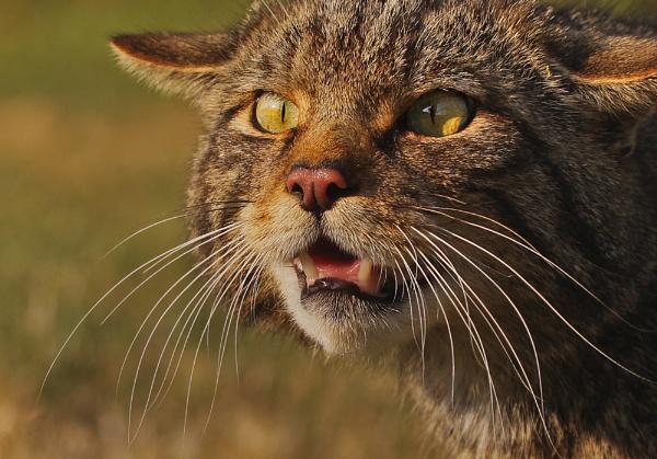 Wild Cat (c) by SurreyHillsMan