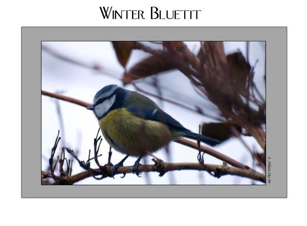 Winter Bluetit by elaronndy