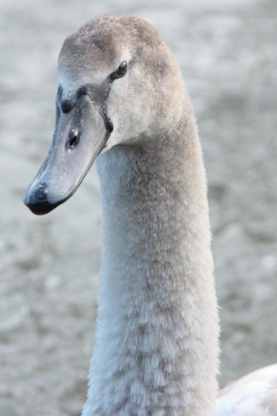 Eye for a Swan by bugman293371