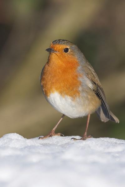 Snow Robin by pmaccyd
