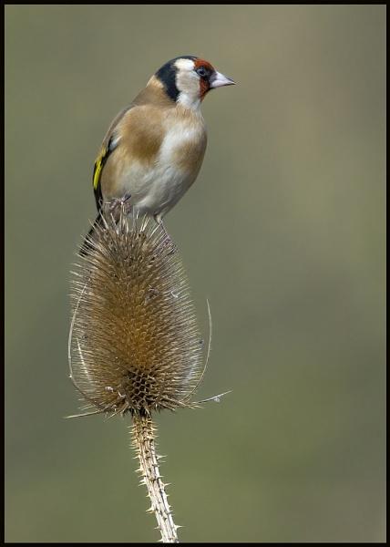 gold finch by Tom-Melton