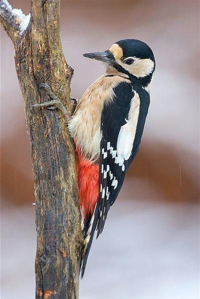 Great Spotted Woodpecker by nigelpye