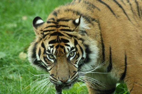 Tiger Tyger.... by Debs_Rocker