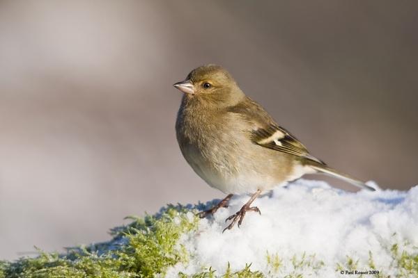 Female Chaffinch by paulrosser