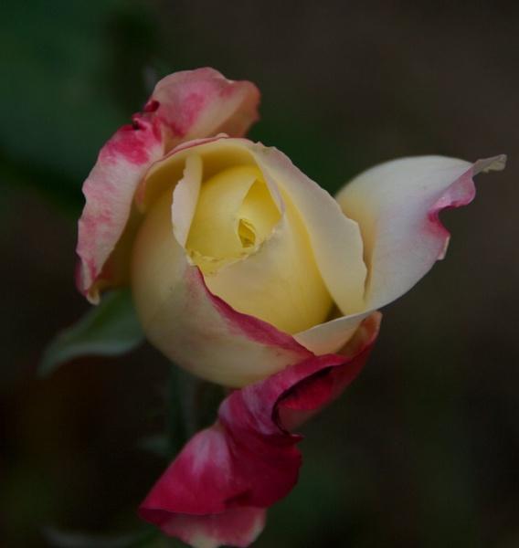 Rose by gjayesh