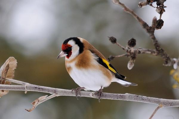 European Goldfinch by Grassi