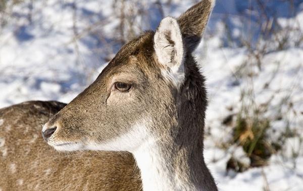 Deer 2 by gasah