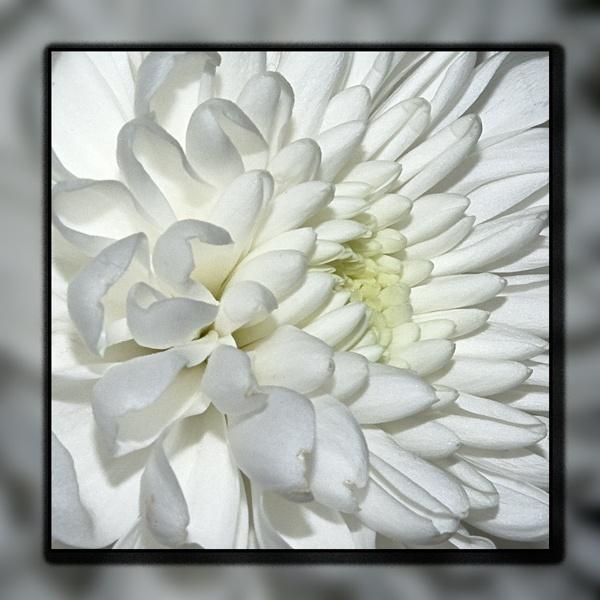 White \'mum by Alan_Baseley