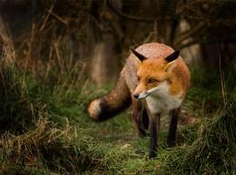 BWC FOX