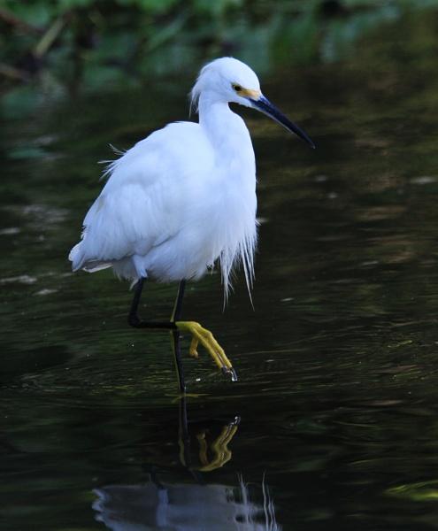 Snowy Egret, Tortuguero by malc_c