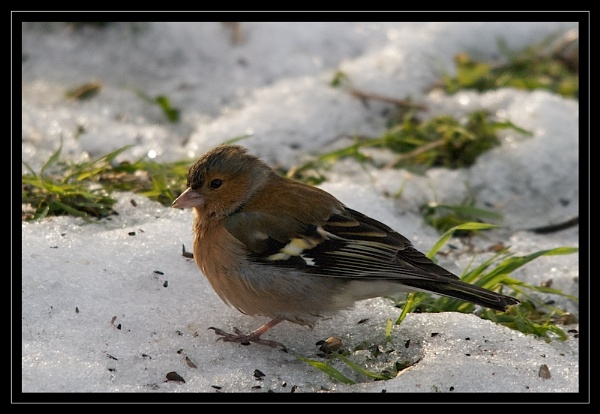 Chaffinch by GaryR