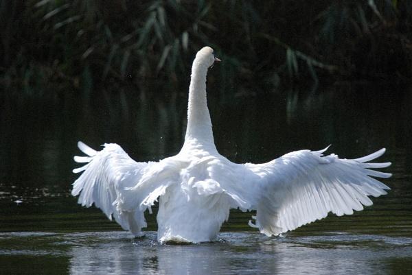 Swan by stevebidmead