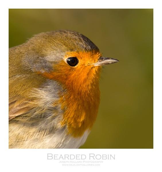 Bearded Robin by WildLight