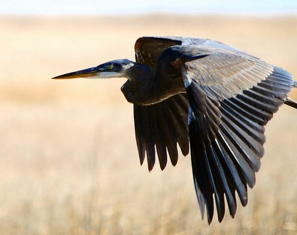 Great Blue Heron by WaltP