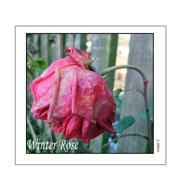 Winter Rose by elaronndy