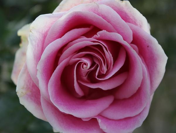Rose by RRRhea