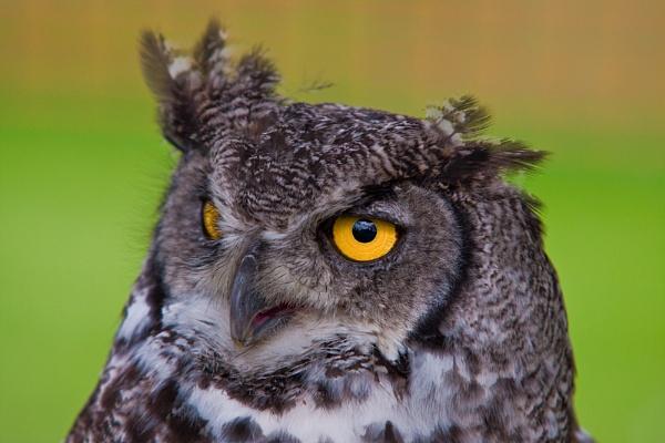 Owl by pj.morley