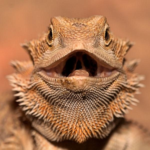 bearded dragon by ray_paul