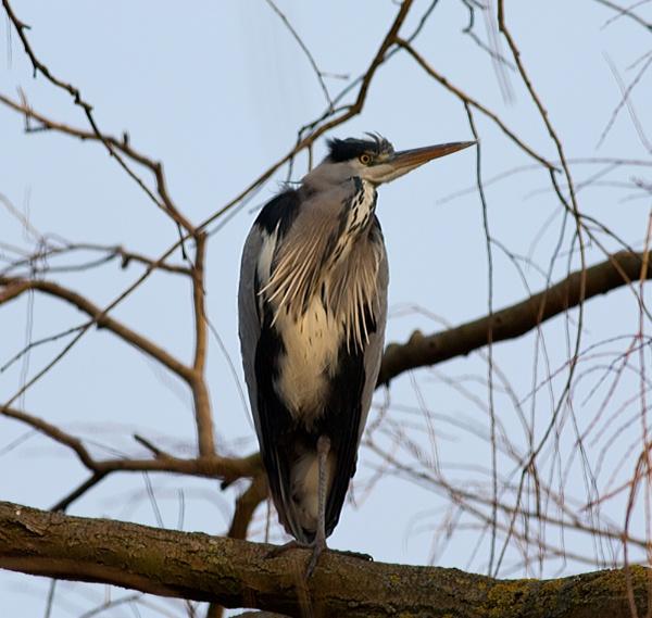 Grey Heron by Growmore