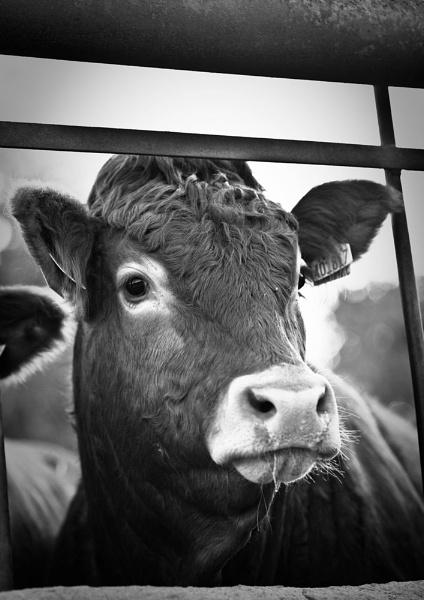 B&W Cow by cmf