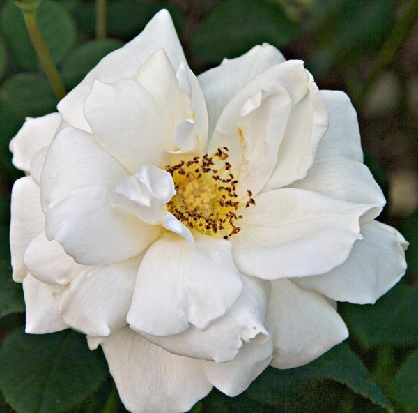 White Rose by gjayesh