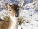 Snow Bambi