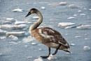 one cold swan