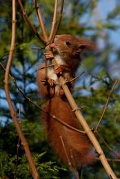 Licking Squirrel