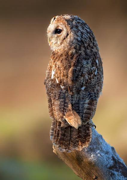 Tawny Owl by John_Wannop