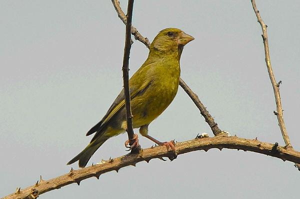 Posing Greenfinch by DATMAN