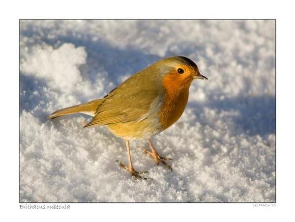 Robin by martinlmr