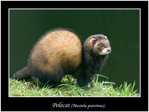 Polecat (Mustela putorious) by teocali